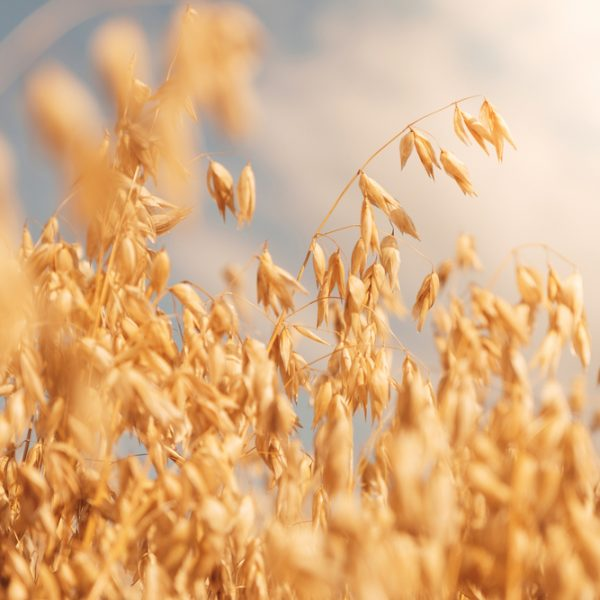 Golden colour wheat field